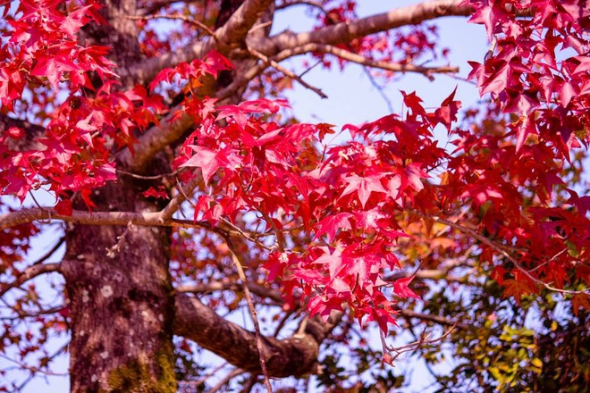 Mùa lá đỏ rực ở Nhật Bản