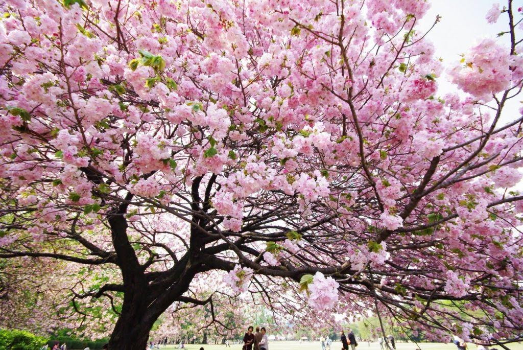 Lễ hội Hoa ở đất nước Nhật Bản