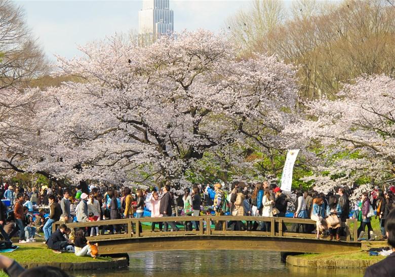 Hoa đào nở rộ khắp mọi nơi trên đất nước Nhật Bản